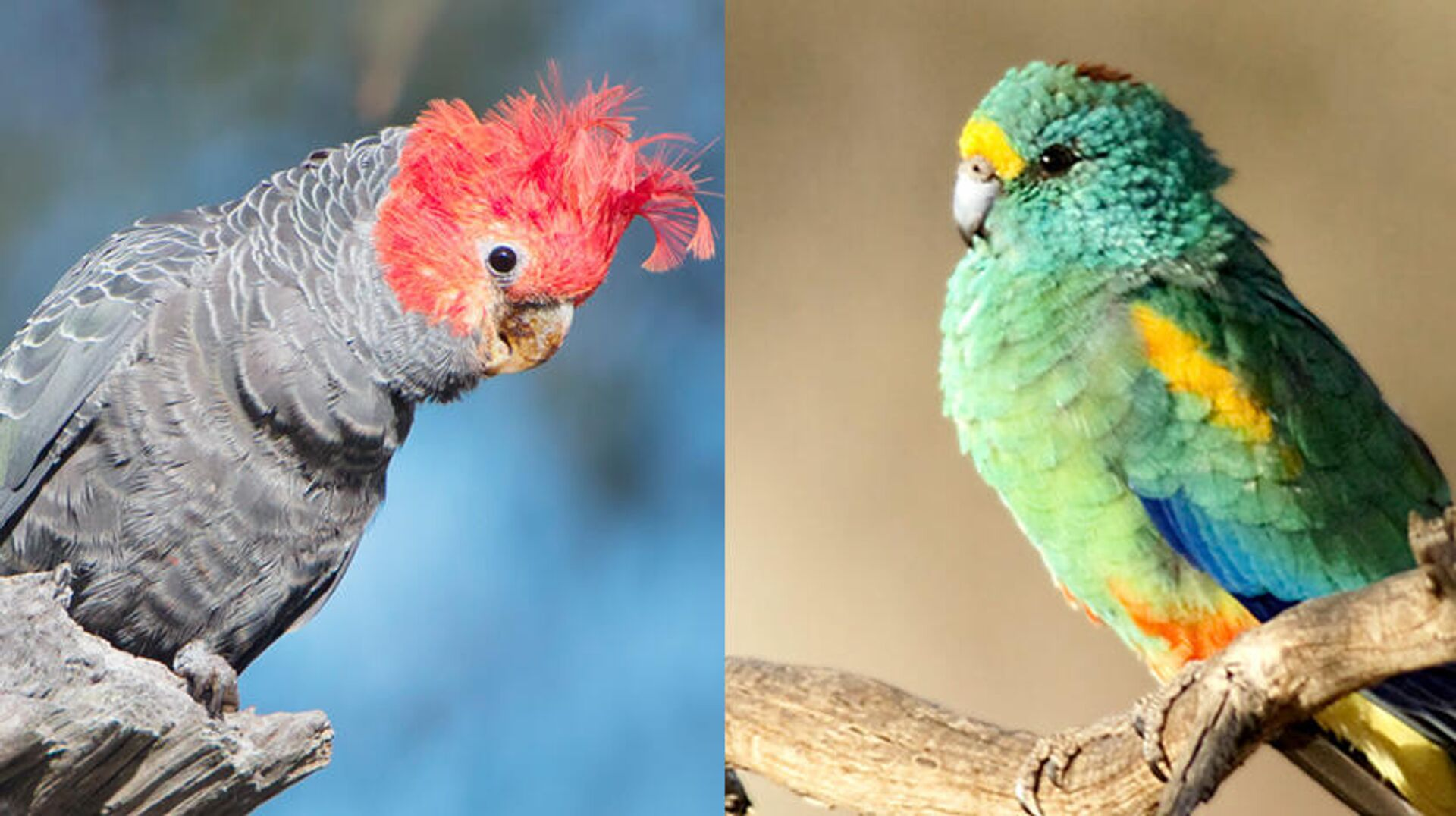 У шлемоносного какаду и разноцветного плоскохвостого попугая ученые зафиксировали увеличение размеров клюва. Предположительно, это связано с повышением среднегодовых температур воздуха в тех регионах Земли, где они обитают - Sputnik Latvija, 1920, 25.09.2021