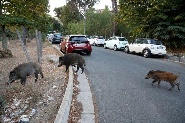 Mežacūkas jau agrāk ir redzētas Romas ielās, taču pēdējo piecu gadu laikā viņu skaits ievērojami pieaudzis. Turklāt pandēmijas laikā pilsētas dzīve kļuvusi daudz rāmāka - Sputnik Latvija