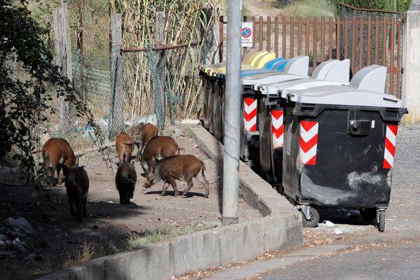Mežacūku saimes klaiņo pa ielām, meklēdami uzturu, un rakņājas atkritumu tvertnēs - Sputnik Latvija