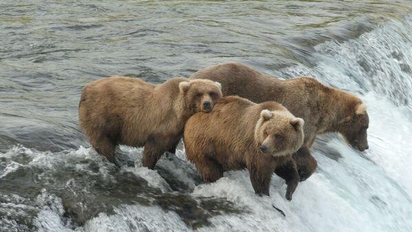 Brūnie lāči Nacionālajā parkā Aļaskā - Sputnik Latvija