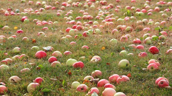 Яблоки в саду - Sputnik Латвия
