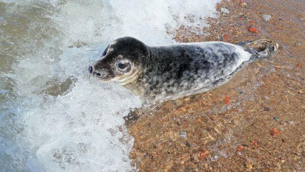 Детеныш серого длинномордого тюленя - Sputnik Latvija