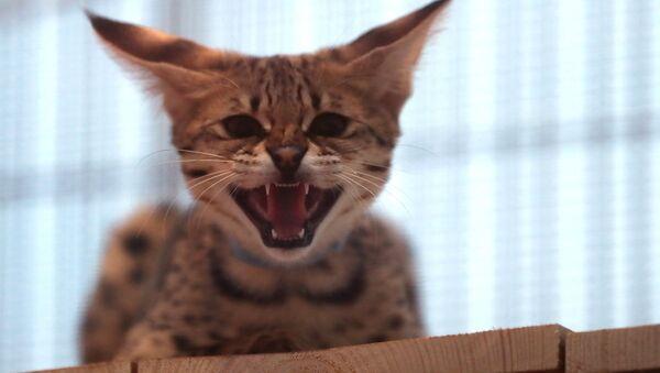 Выставка самых редких домашних кошек в Ботаническом саду МГУ «Аптекарский огород»  - Sputnik Латвия