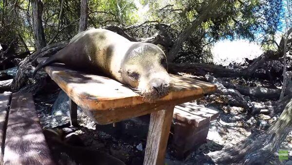 На Галапагосах сердитый морской лев помешал туристам пообедать на природе - Sputnik Латвия
