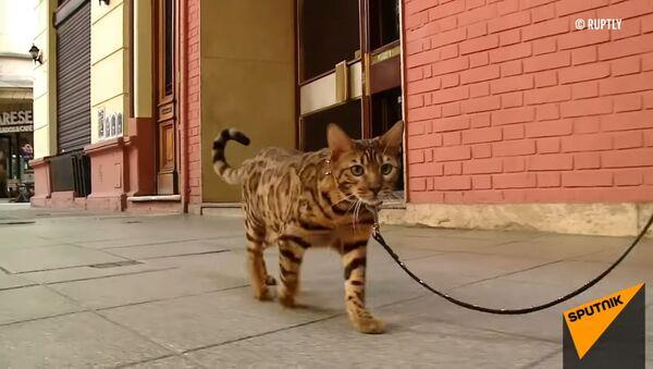 Кот-ягуар любит мороженое и не боится собак - Sputnik Латвия