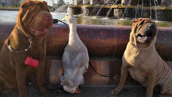 Утка по имени Гав дружит с собаками и снимается на ТВ - Sputnik Latvija