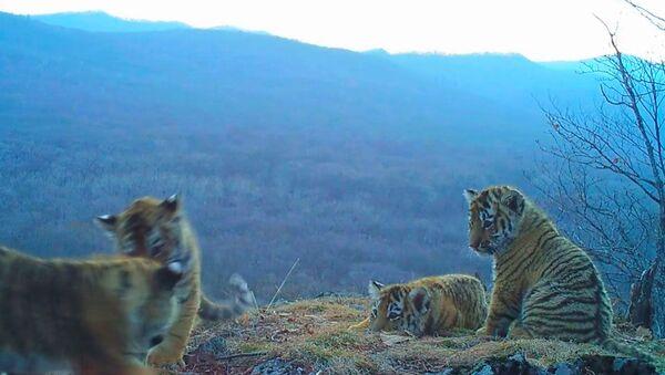 Игры амурских тигрят в парке Земля леопарда. Съемка камеры слежения - Sputnik Латвия