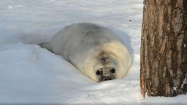 Десятидневный тюлень нежится в Рижском зоопарке - Sputnik Latvija