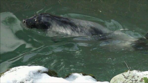 Первое купание месячного тюленя в Рижском зоопарке - Sputnik Латвия