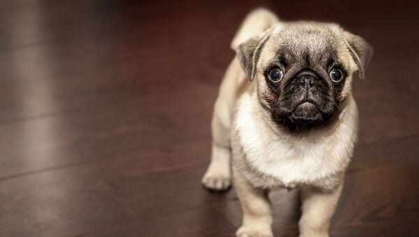 Собака породы мопс - Sputnik Latvija