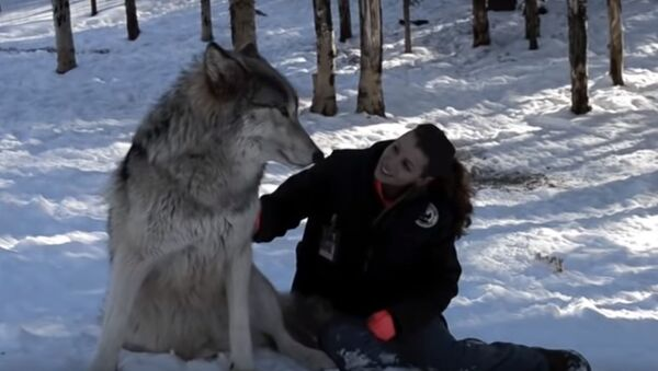 В США девушка приручила огромных волков  - Sputnik Latvija