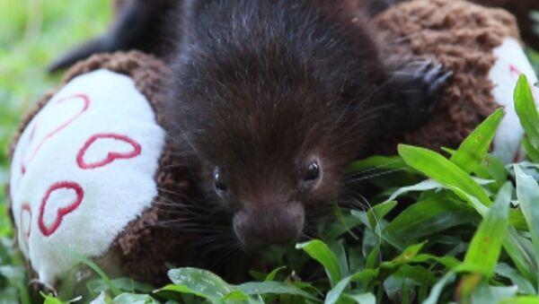 Двум малышам дикобраза плюшевый мишка заменил маму - Sputnik Латвия