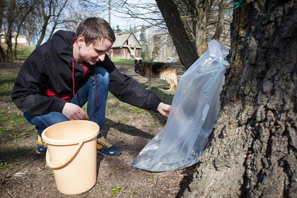Заготовка березового сока в усадьбе в деревне Довбени Воложинского района - Sputnik Латвия