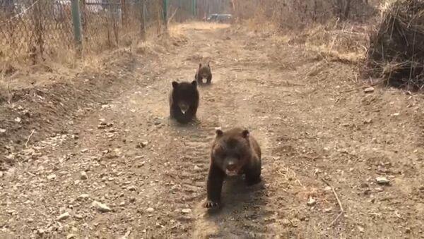 Как медвежата ведут себя на первой прогулке - видео - Sputnik Latvija
