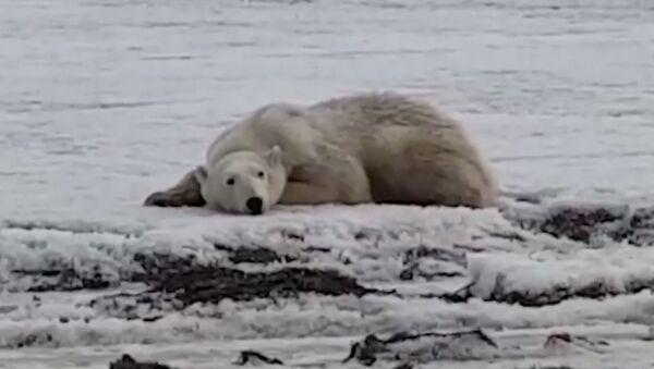 Жители Камчатки спасают полярного медведя - Sputnik Латвия