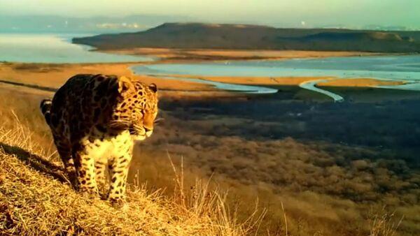 Амурский тигр и дальневосточный леопард попали в фотоловушку в окрестностях Владивостока - Sputnik Latvija