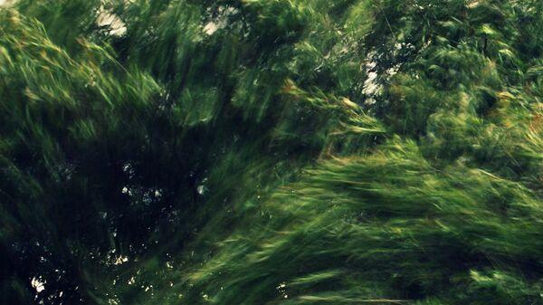 Сильный ветер в кронах деревьев - Sputnik Латвия