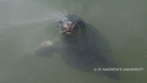 Идеальный слух: как поют серые тюлени - Sputnik Латвия