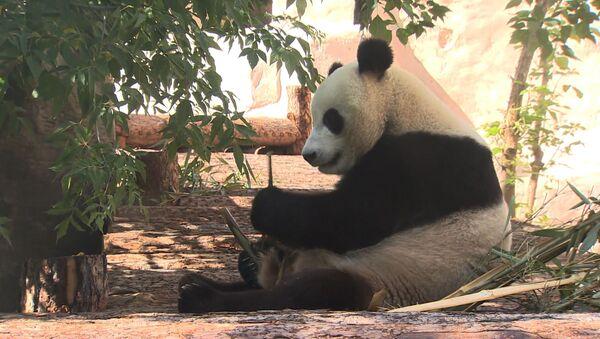 Медвежий онлайн: как живут панды в Московском зоопарке - видео - Sputnik Латвия