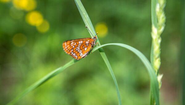 Бабочка огневка на полевом цветке в Республике Карелия - Sputnik Латвия