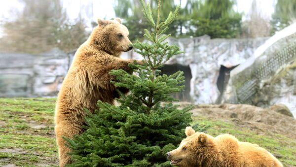 Бурые медведи и елка - Sputnik Латвия