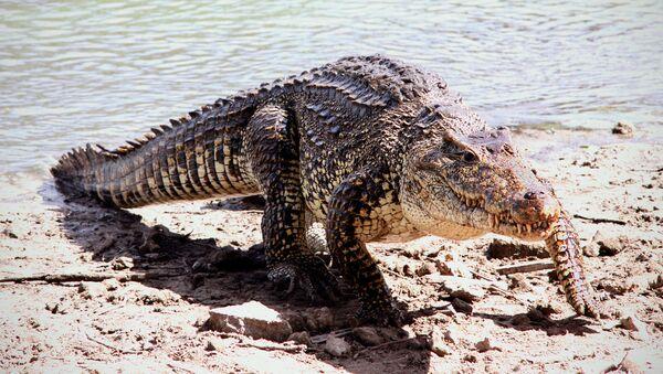 Кубинский крокодил - Sputnik Латвия
