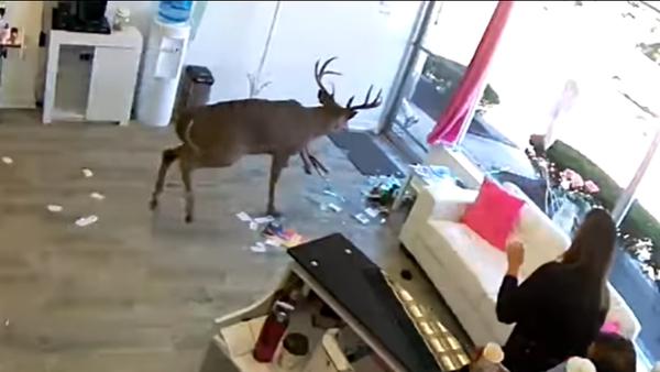 Посмотрите, дикий олень разгромил парикмахерскую и едва не убил посетительницу - Sputnik Латвия
