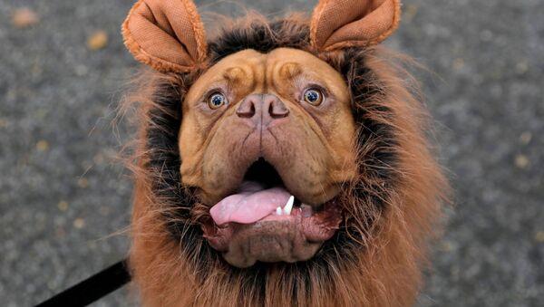 Участники ежегодного Хэллоуин-парада собак в Нью-Йорке - Sputnik Латвия