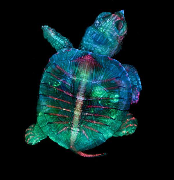 Снимок Fluorescent turtle embryo американских фотографов Teresa Zgoda & Teresa Kugler, ставший победителем в фотоконкурсе Nikon Small World - 2019 - Sputnik Латвия