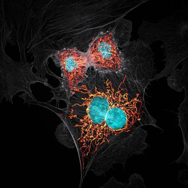 Снимок BPAE cells in telophase stage of mitosis американского фотографа Jason M. Kirk, занявший 10-е место в фотоконкурсе Nikon Small World - 2019 - Sputnik Латвия