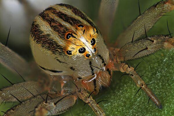 Снимок Female Oxyopes dumonti (lynx) spider фотографа Antoine Franck, занявший 14 место в фотоконкурсе Nikon Small World - 2019 - Sputnik Латвия