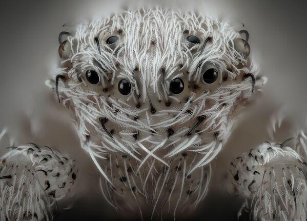 Снимок Small white hair spider испанского фотографа Javier Rupérez, занявший 6 место на фотоконкурсе Nikon Small World - 2019 - Sputnik Латвия