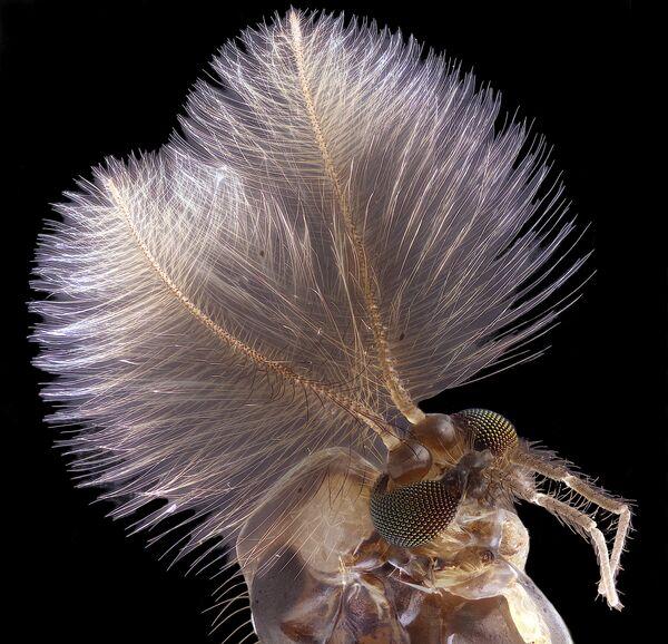 Снимок Male mosquito фотографа Jan Rosenboom, занявший 4-е место на фотоконкурсе Nikon Small World - 2019 - Sputnik Латвия