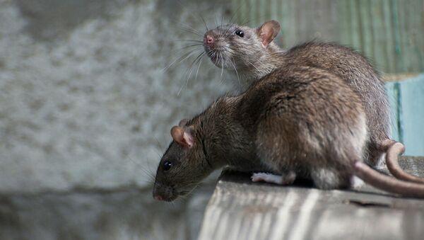 Крысы - Sputnik Латвия