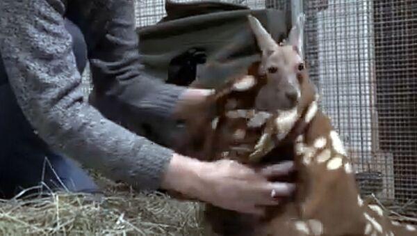 Кенгуренок в Рижском зоопарке - Sputnik Латвия