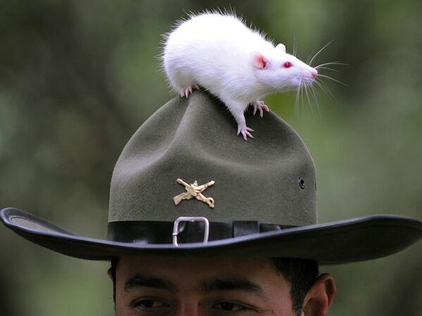 Полицейская крыса в Боготе, Колумбия - Sputnik Латвия