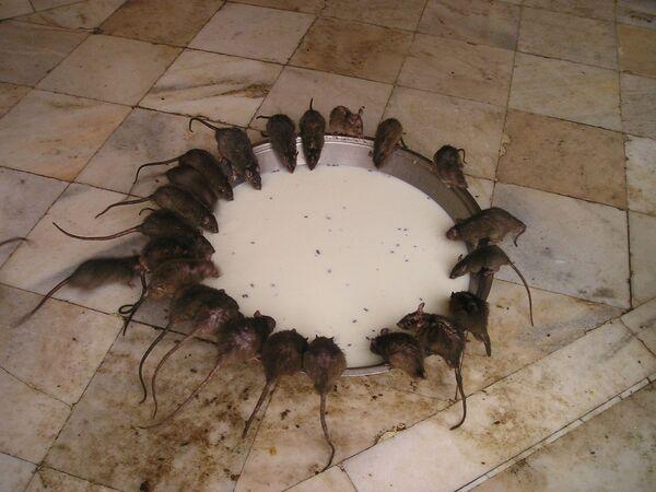 Храм крыс в Индии - Sputnik Латвия
