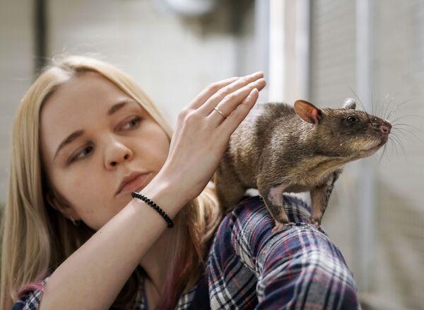 Жена зоолога Евгения Рыбалтовского Марина с гигантской гамбийской крысой - Sputnik Латвия