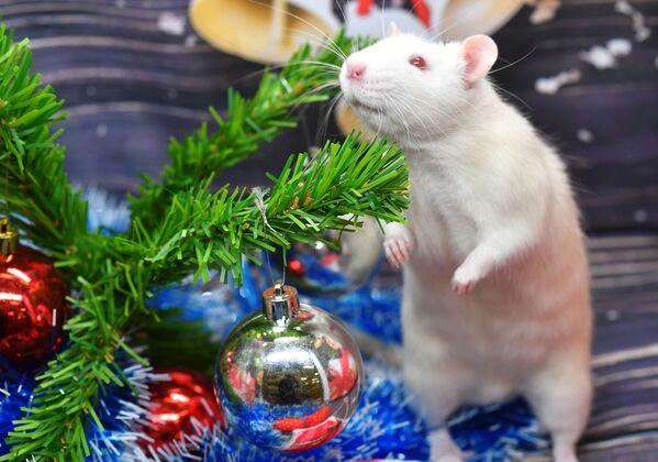 Крыса по кличке Пухляш под новогодней елкой в одном из магазинов сети Бетховен, Москва - Sputnik Латвия
