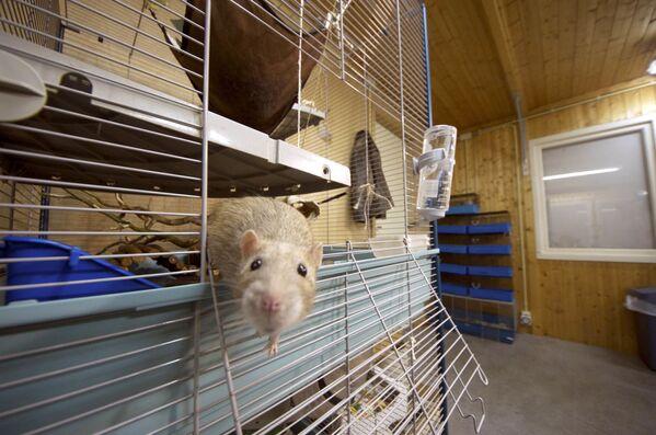 Полицейская крыса, натасканная на поиск наркотиков и пороха, Нидерланды - Sputnik Латвия