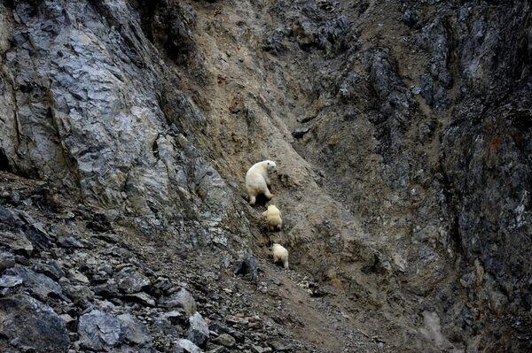 Белая медведица с медвежатами в бухте Драги на острове Врангеля в Чукотском автономном округе - Sputnik Латвия