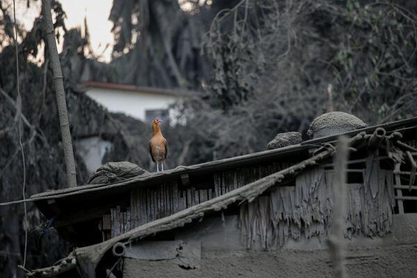 Петух в эвакуированной деревне Талисай - Sputnik Латвия