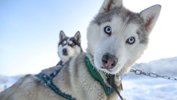 Ездовые собаки породы сибирский хаски в туристическом парке Северное сияние в Мурманской области - Sputnik Латвия