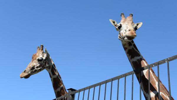 Žirafes. Foto no arhīva - Sputnik Latvija
