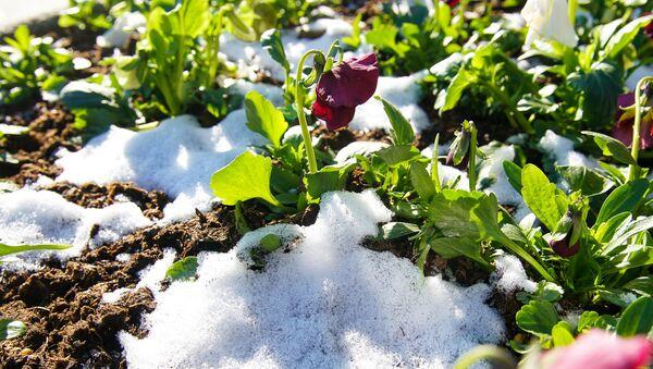 Снег на цветочной клумбе - Sputnik Латвия