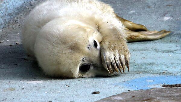 Прибавление в семействе серых тюленей калининградского зоопарка - Sputnik Латвия