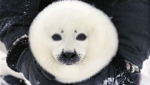 Белек, детеныш гренландского тюленя. - Sputnik Latvija