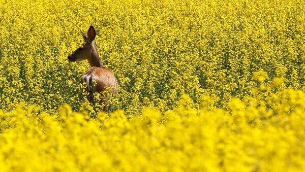 Олень на цветущем поле в Канаде. - Sputnik Латвия