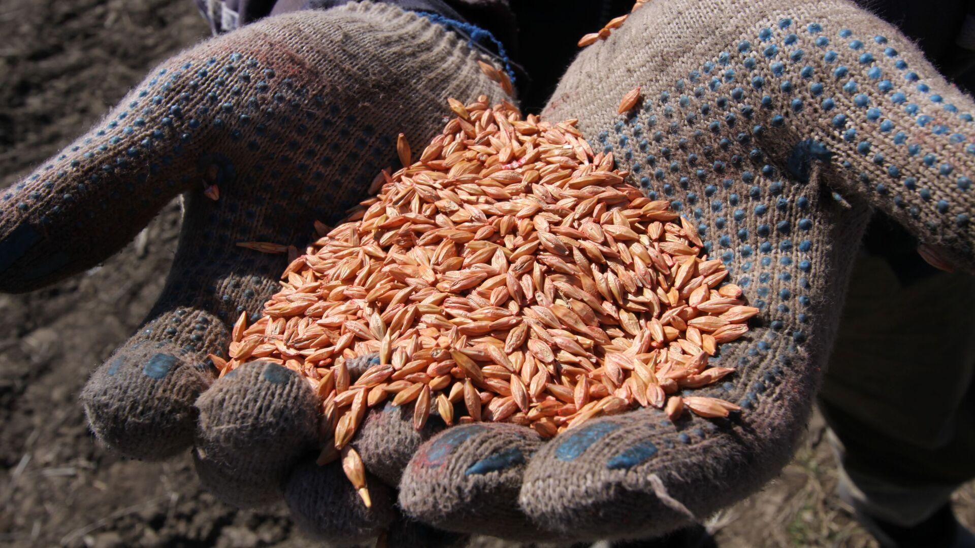 Зерно пшеницы в руках у механизатора - Sputnik Latvija, 1920, 10.10.2021