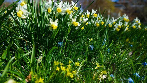 В Ботаническом саду Латвийского университета в Риге начинают цвести рододендроны и другие растения - Sputnik Латвия